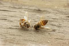 dead bee on wooden background. - stock photo