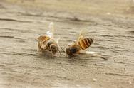 Dead bee on wooden background. Stock Photos