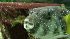 Blowfish Stock Footage