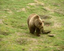 Brown Bear with cub (ursus arctos) Stock Footage