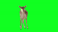 Deer on green screen. Stock Footage