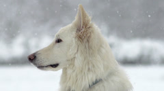 Spectacular Slow Motion Close-Up Of White Swiss Shepherd Dog Stock Footage