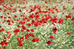 Stock Photo of poppy and camomile wild flowers spring season