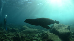 Californian sea lions - stock footage