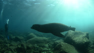 Stock Video Footage of Californian sea lion and divers