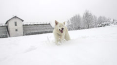 Slow-Mo: White Swiss Shepherd Dog Trudging Through High Snow Stock Footage