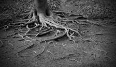 Stock Photo of twisted tree roots