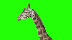 Giraffe in front of green screen. - stock footage