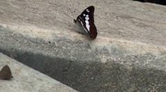 A single Commander Butterfly (Moduza procris) on concrete Stock Footage