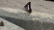 Stock Video Footage of A single Commander Butterfly (Moduza procris) on concrete