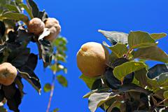 Stock Photo of quince ripening on tree against clear blue sky