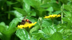 An Asiatic honey bee taking necter from a flower 1/2 Stock Footage
