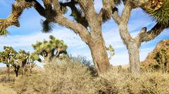 joshua tree in mojave desert - stock photo