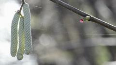 Hazelnut blossom in wintertime - stock footage