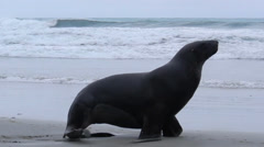 Seal walking across New Zealand beach Stock Footage
