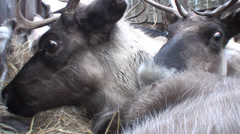 transportation of reindeers in the back of a truck, closeup shot - stock footage
