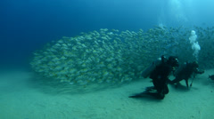 Yellow Snapper - stock footage