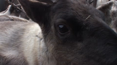 Transportation of reindeer in the back of a truck, closeup shot Stock Footage