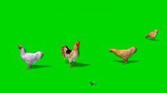 chicken with rooster and a sparrow - seperated on green screen - stock footage