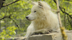 Arctic wolf Stock Footage