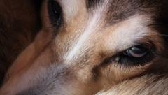 Tired Dog's Eyes Stock Footage