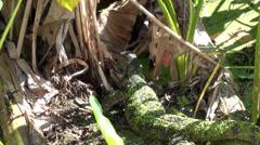 An Asian Water Monitor Lizard Raids a nest - 2/2 Stock Footage