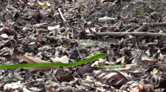 Malayan Vine Snake Stock Footage