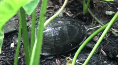 A Malayan Box Terrapin in the rain Stock Footage