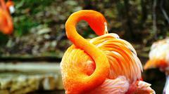 Pink Flamingo Columbus Kuvituskuvat