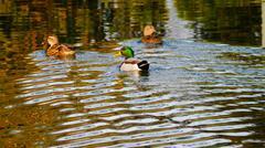 Stock Photo of Mallard ducks at Jacobsen Park