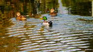 Stock Photo of Mallard ducks at Jacobsen Park