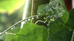 Crystal clear raindrops fall on a vine in the jungle Stock Footage