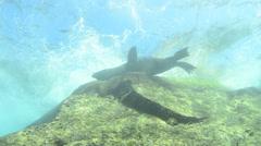 Californian sea lions Stock Footage