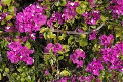 Purple bougainvillea shrub Stock Photos