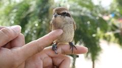 Brown shike bird Stock Footage