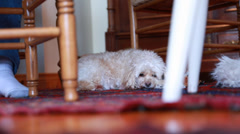A dog resting on the floor Stock Footage
