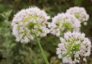 Stock Photo of view beautiful of onion flower stalks. closeup