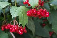 Stock Photo of scarlet berries viburnum on branches among foliage