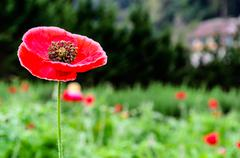Closeup of a large red  papaver somniferum l Stock Photos