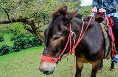 mini dwarf horse on doi ang khang, thailand - stock photo