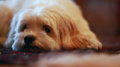 Little dog on the floor Stock Footage