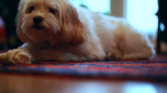 A little dog on the floor Stock Footage