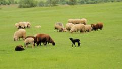 Sheep gazing on green meadow in spring Stock Footage