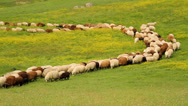 Stock Video Footage of Sheep walking in a roll