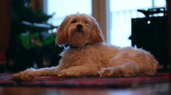 Cute little dog resting on the floor Stock Footage
