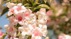 Close-up of pink blossom and bees - stock footage