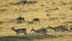 Deers crossing yellow-colored hill Stock Footage