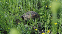 Spur-thighed tortoise on a pasture Stock Footage
