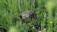 Stock Video Footage of Spur-thighed tortoise on a pasture