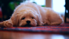 A cute little dog resting on the floor Stock Footage